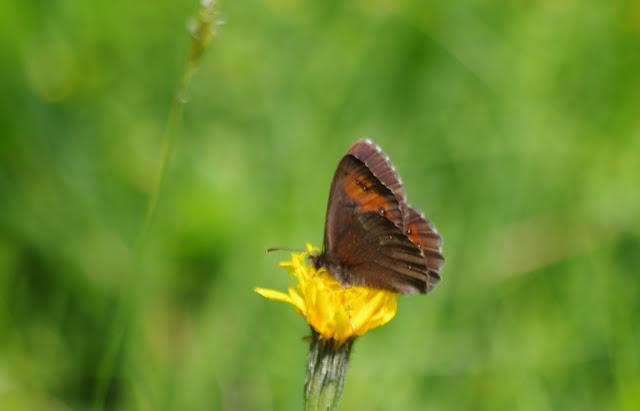 Erebia ligea (L., 1758), mâle. Fex Crasta, 2000 m (Engadine, Grisons, CH), 14 juillet 2013. Photo : J.-M. Gayman