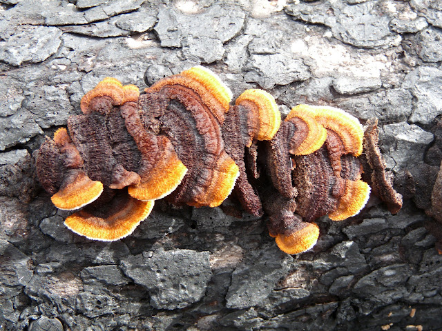 A beautiful bracket fungus. Probably one of the polypores.