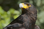 Verreaux's eagle, also known as the black eagle, is at the centre of a dispute over a wind farm that the Watson family wants to build near Uitenhage.