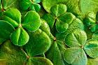 hojas de trebol