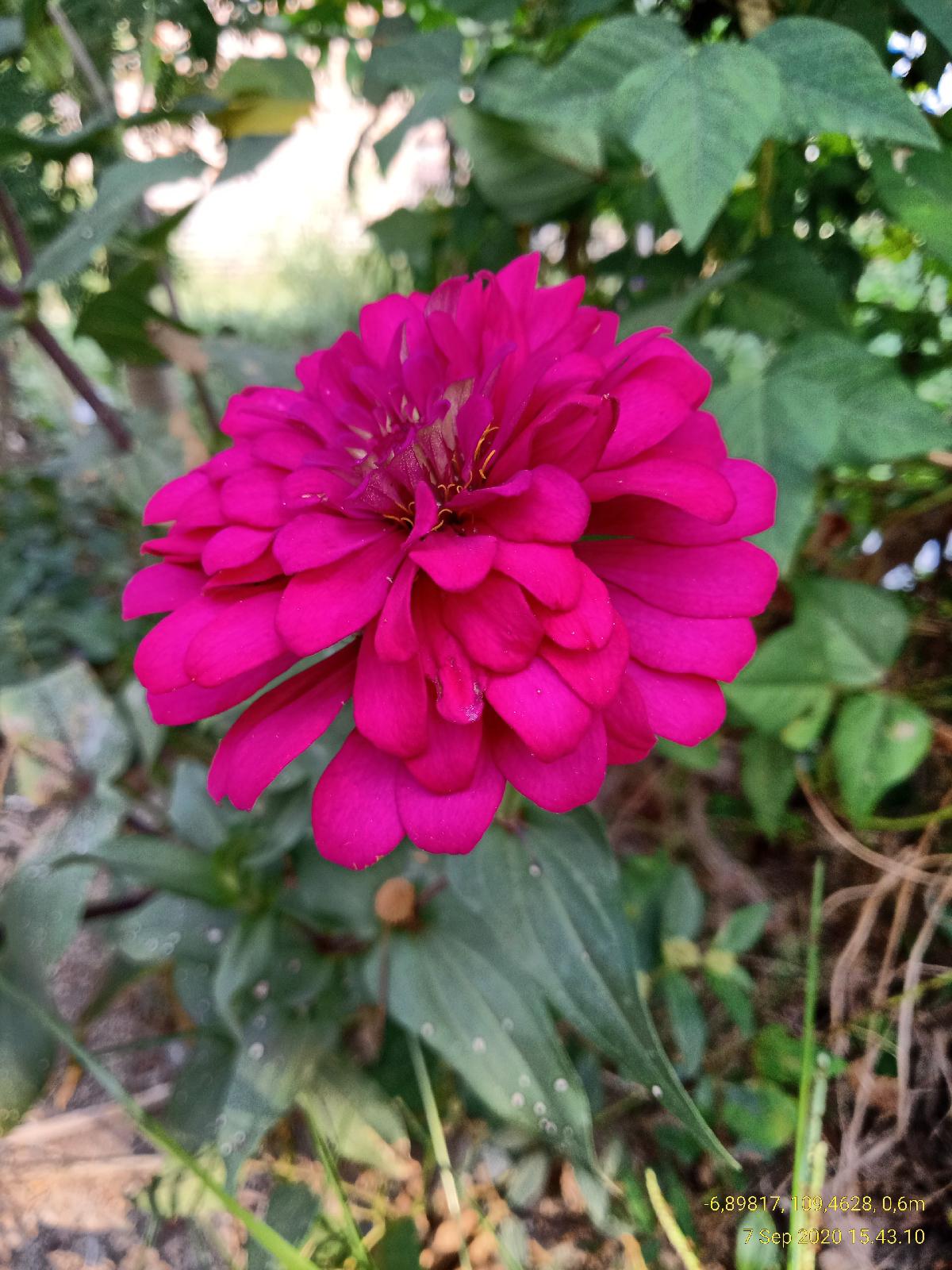 Bunga Zinnia Anggun