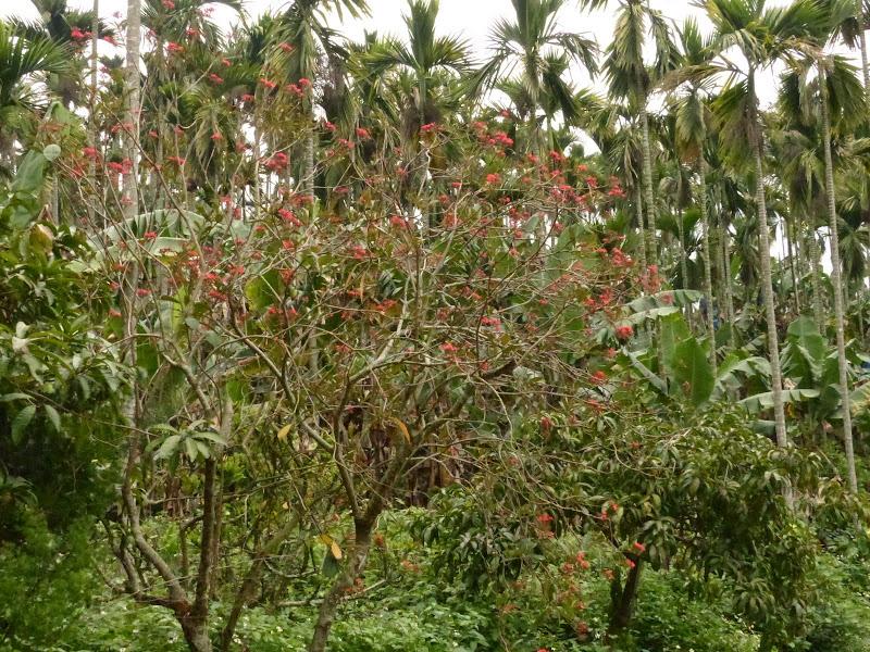 Puli, Nantou county, cueillette de thé - P1050575.JPG