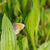 Coenonympha pamphilus LINNAEUS, 1758. Les Hautes-Lisières (Rouvres, 28), 23 mai 2012. Photo : J.-M. Gayman