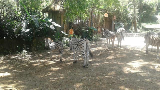 Jalan-jalan Ke Taman Safari Cisarua Bogor