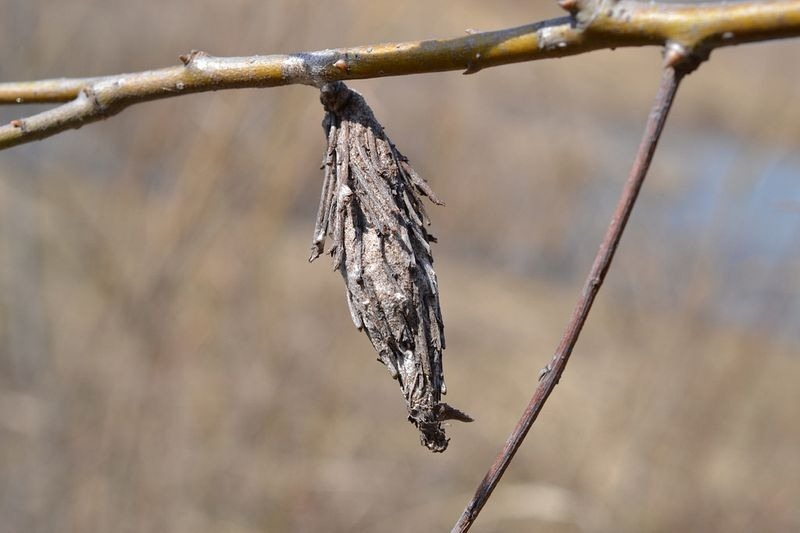 bagworm-moths-case-4