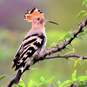Hoppoe by Manoj Kulkarni - Animals Birds ( sanctuary, green, common, hoppoe, nature, background, bird, stripe, brown, wildlife )