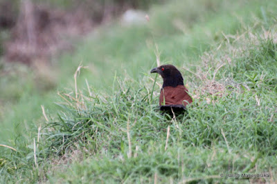 May-2012 Greater Coucal Pic: Harish Mahendrakar