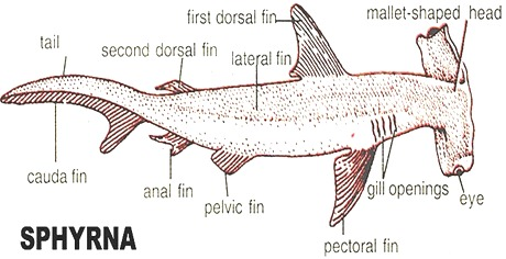 cartilaginous-fish-sphyrna