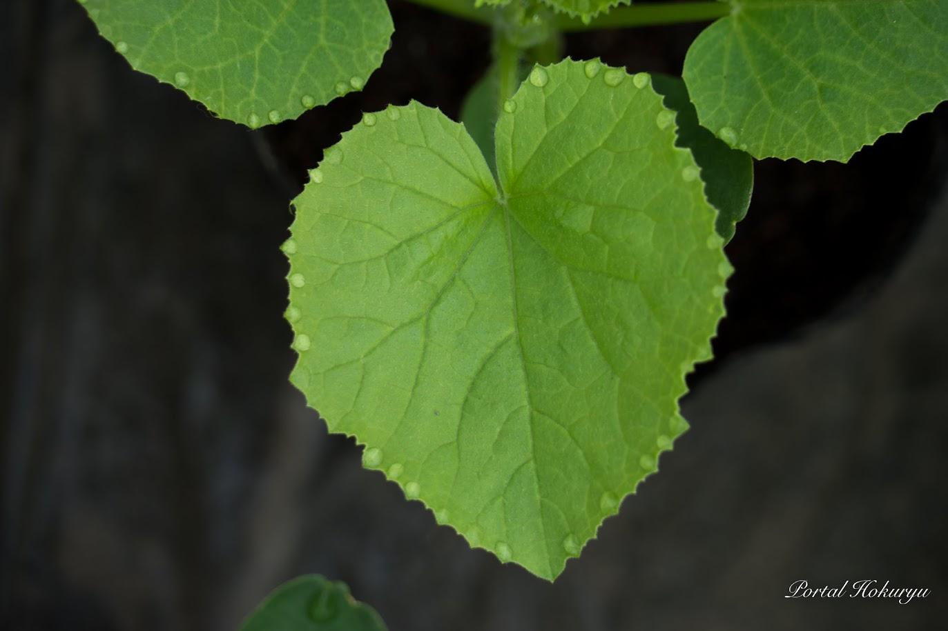葉っぱのまわりを飾る水滴
