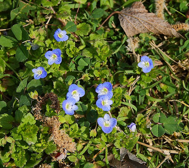 Speedwell flowers cluster