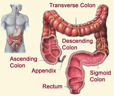 kolon Sistem Ekskresi (3): Sistem ekskresi pada manusia
