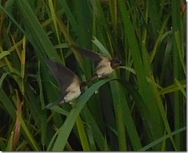 7 swallows in reeds
