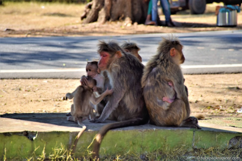 Monkeys at Bandipur, Karnataka | Bandipur Safari