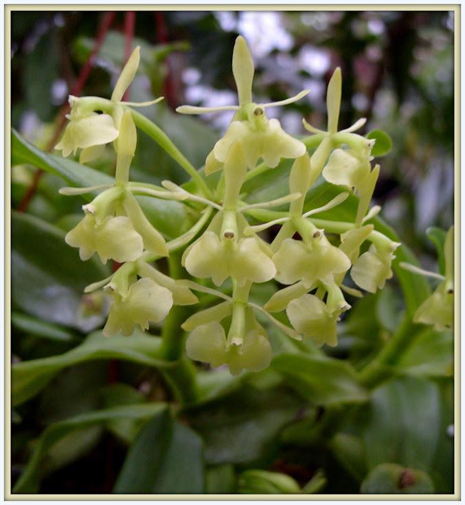 Epidendrum difforme S1052844