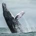 クジラにのみ込まれたロブスター漁師「一瞬だった」、驚きの体験を語るcv