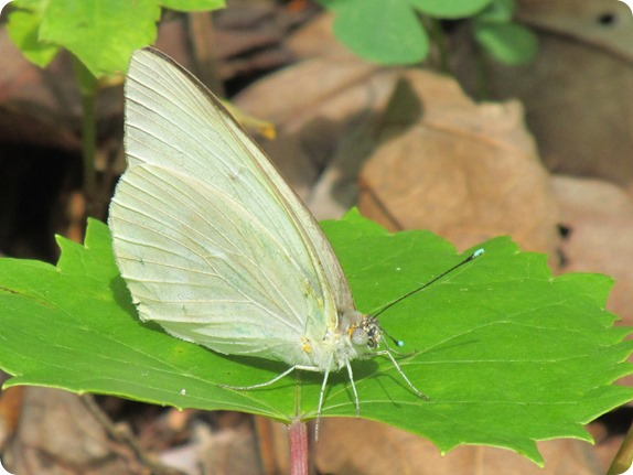 23 Van Fleet - Great Southern White Ascia monuste Butterfly