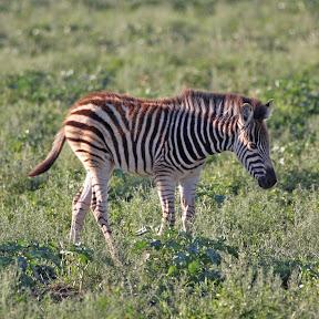 Zebra Baby, South Africa