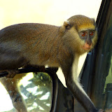 Singe Mona ou Cercopithecus mona (SCHREBER, 1774) au Boabeng Fiema Monkey Sanctuary (Nkoranza, Brong-Ahafo Region, Ghana), 9 décembre 2013. Photo : J.-F. Christensen