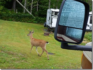 Deer passing through Prince Rupert RV Park