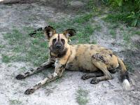 Wild dog - Linyanti Concession (Chobe Region)