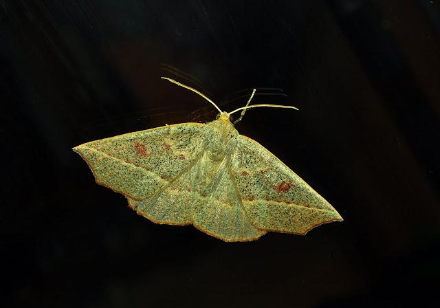 Geometridae : Ennominae : Nacophorini : Amelora oenobreches TURNER, 1919. Umina Beach (New South Wales, Australie), 27 mars 2011. Photo : Barbara Kedzierski