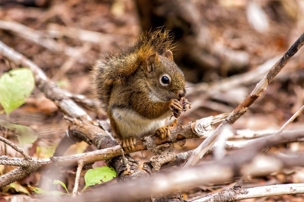 Dlaczego warto jechać do Kanady, Kanada, wiewiórka