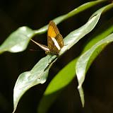 Adelpha cytherea LINNAEUS, 1764. Pulso (Ubatuba, SP), 12 février 2011. Photo : J.-M. Gayman