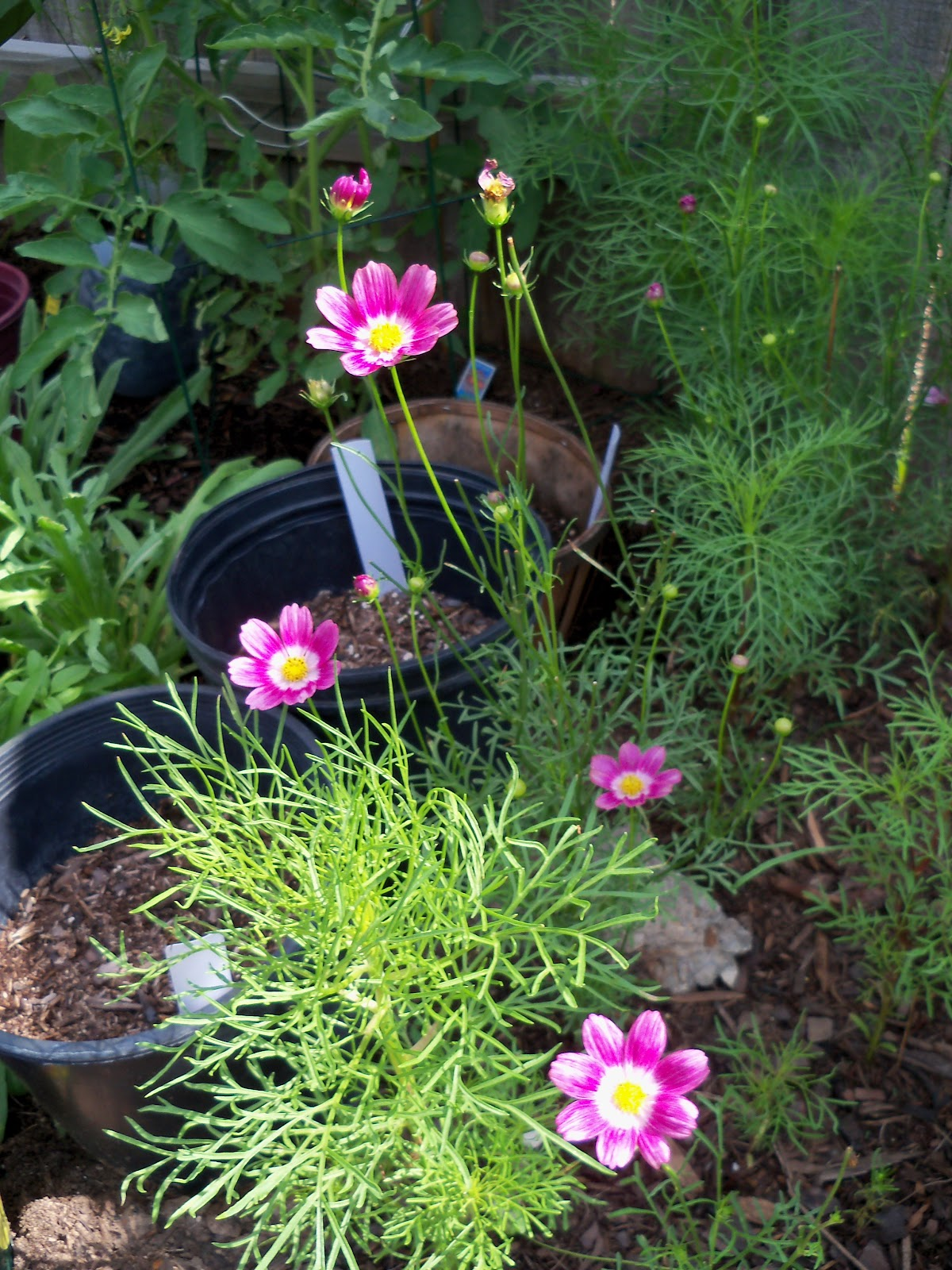 Gardening 2010, Part Two - 101_2680.JPG