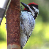 Yellow-bellied Sapsucker (Paul Anderson)