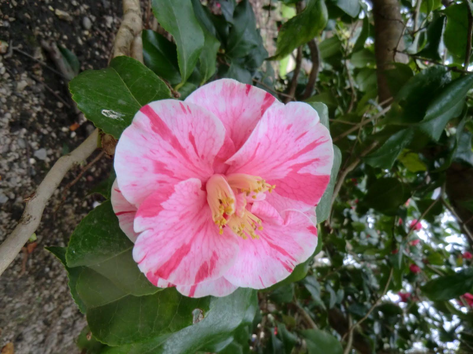 CIMG6875 Camellia, Waterhouse Plantation