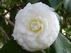 白色 千重咲き 螺旋状に並ぶ 中輪