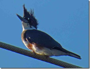 Belted Kingfisher, Gold Beach Oregon