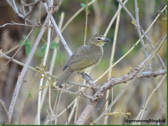 White browned Bulbul3