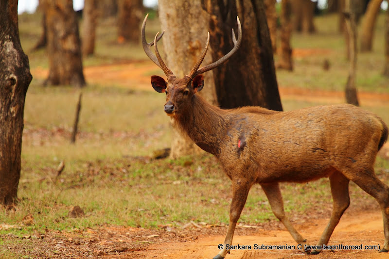 Looks like this male sambar deer was injured in a fight