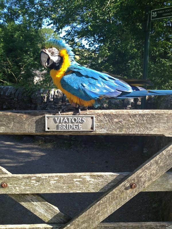 Macaw C Frampton