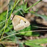 Maniola jurtina (L., 1758), femelle. Aix-en-Provence (13, France), 31 juillet 2014. Photo : J.-M. Gayman