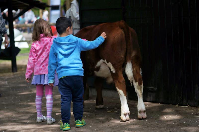 Dua anak memegang sapi