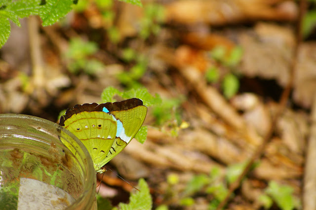 Nessaea batesii C. & R. FELDER, 1860, femelle, verso. Près de Camp Patawa (second layon), Montagne de Kaw (Guyane). 16 novembre 2011. Photo : J.-M. Gayman