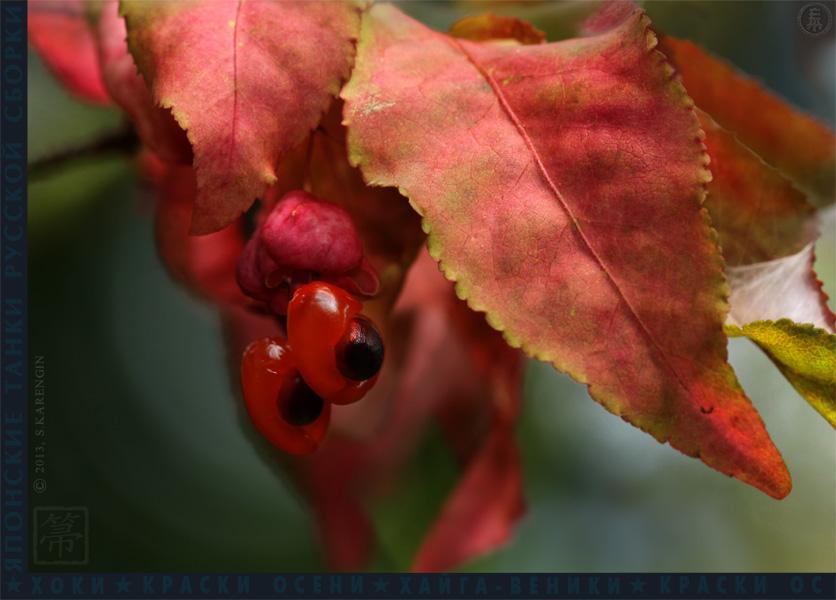 хоки, hoki, осень, autumn colors, краски осени,Euónymus, бересклет,