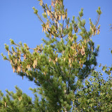 White pine with cones