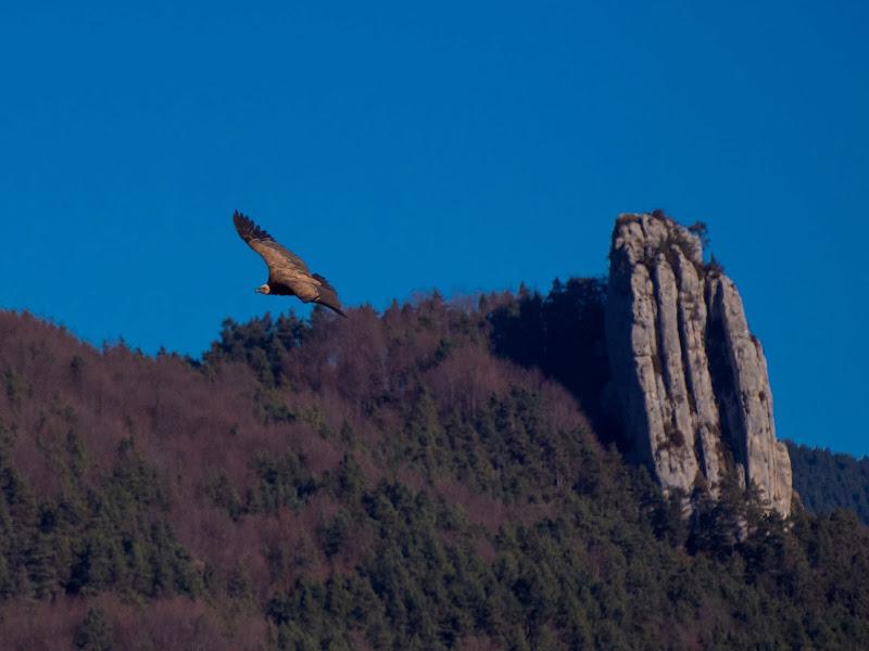 Un voltor davant del Roc de les Collades