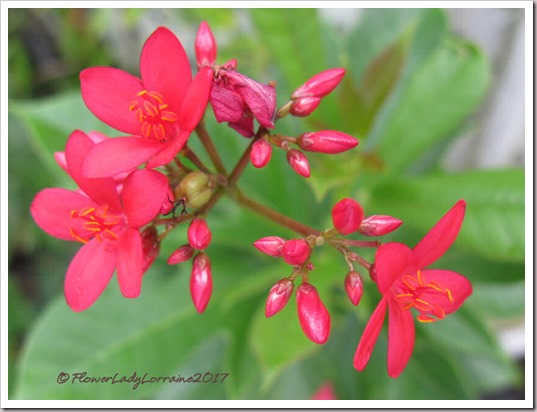 08-23-spicy-jatropha