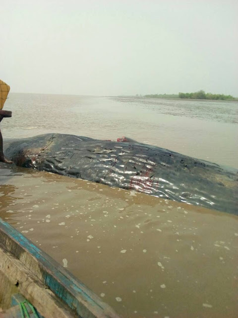 A Big Whale Killed In Ese-Odo, Ondo State