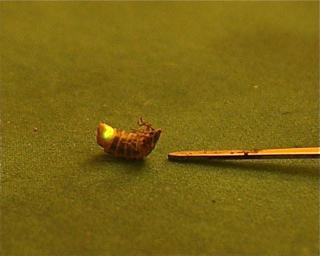 Lampyridae : Lampyris noctiluca L., 1767. Luciole (état larvaire). Hautes-Lisières (Rouvres, 28), 7 mai 2011. Photo : J.-M. Gayman