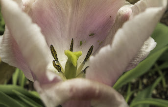 Photo: House Guests Sometimes you want them, other times, not so much! I will be happy when these are in bloom again :) #tulipsaturday +Measie Elizabeth+Eustace James+Marilyn Benham #piecesofmylife  #lifeinNM  #tulips  #flowerphotography  #spring