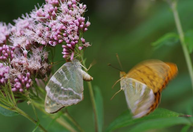 Couple d'Argynnis paphia (L., 1758), mâle à droite, femelle f. argyrea. Chemin de La Rodé, Cocurès, 620 m (Lozère), 6 août 2013. Photo : J.-M. Gayman