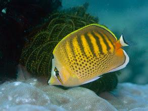 Photo: Spot-Banded Butterflyfish - Chaetodon punctatofasciatus