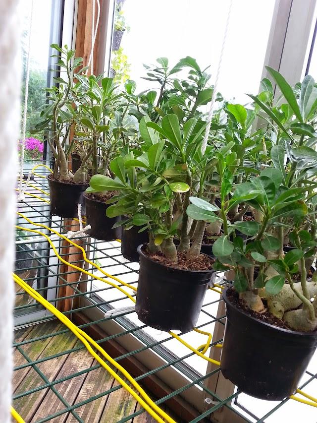 2 ans apres leurs semis ad nium et frangipaniers en fleurs et boutons page 2 - Arrosage gazon apres semis ...