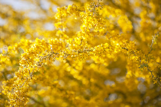 Photo: Acacia Skyscape For Floral Friday, a yellow skyscape of a blooming acacia tree in Phoenix, Arizona. Happy Friday and TGIF! #floralfriday  #floralphotography   The perfect blooming season for the many acacia trees in Arizona, this yellow flowering tree has so many blooms there are few leaves to be seen.  Curated by +Tamara Pruessner+Kiki Nelson+Beth Akerman+Eustace JamesPlease click on the hashtags for more floral goodness and cheer today! #acacia  #acaciatree  #yellowcircle  #yellow  #colorfield