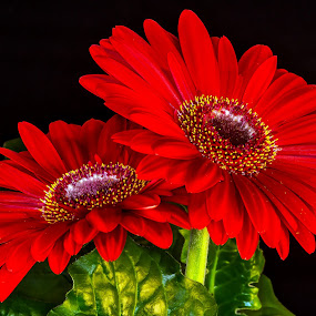 Gerbera's. by Thomas Thain - Flowers Flowers in the Wild